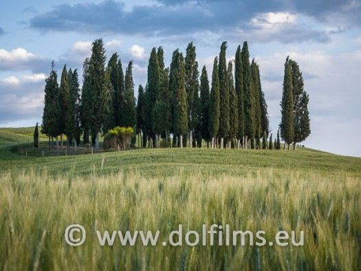 stock photo cypresses in field