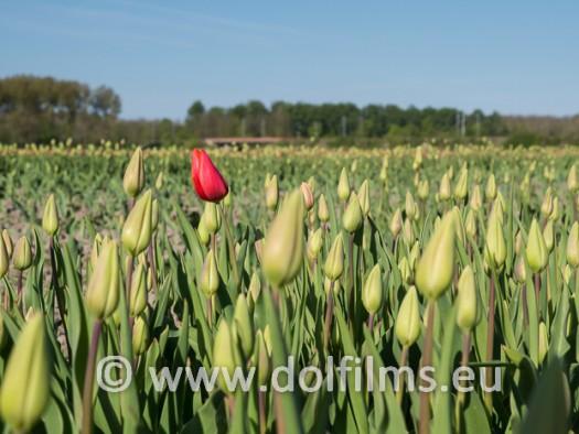 stockfoto tulpen rood