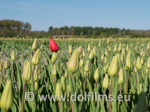 stock photo red tulips