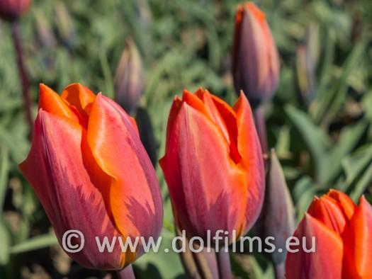 stockfoto tulpen oranje