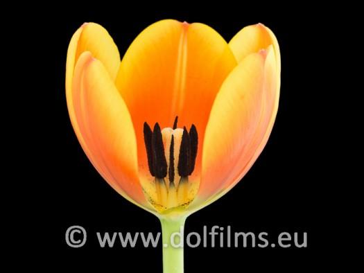 stockfoto tulp opengesneden kelk
