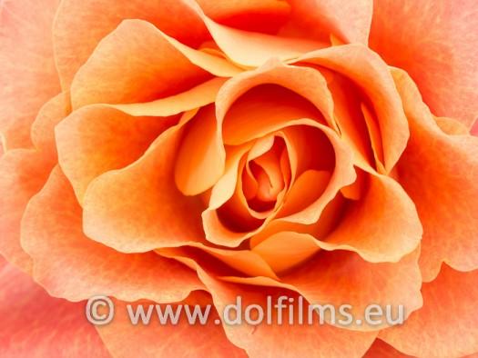 stockfoto zacht roanje roos