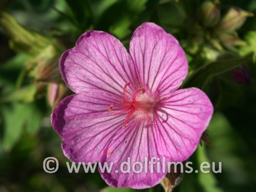 stockfoto bloem roze