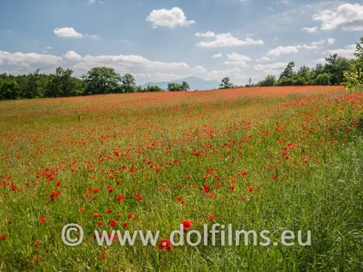 stock foto poppies Tuscany
