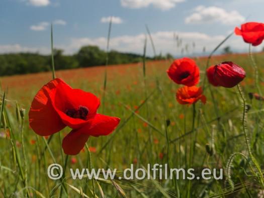 stock photo poppy flowers