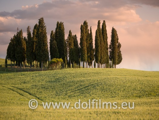 stock photo group cypresses at dusk