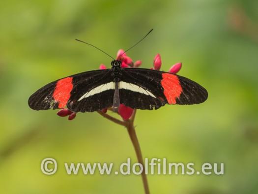 stockfoto vlinder rood