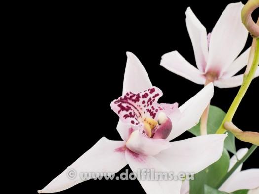 stockfoto orchidee