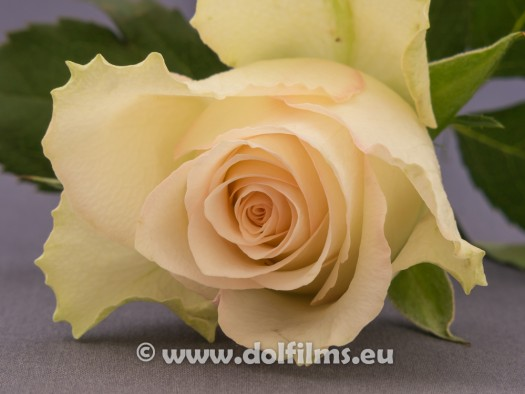 stockfoto witte roos